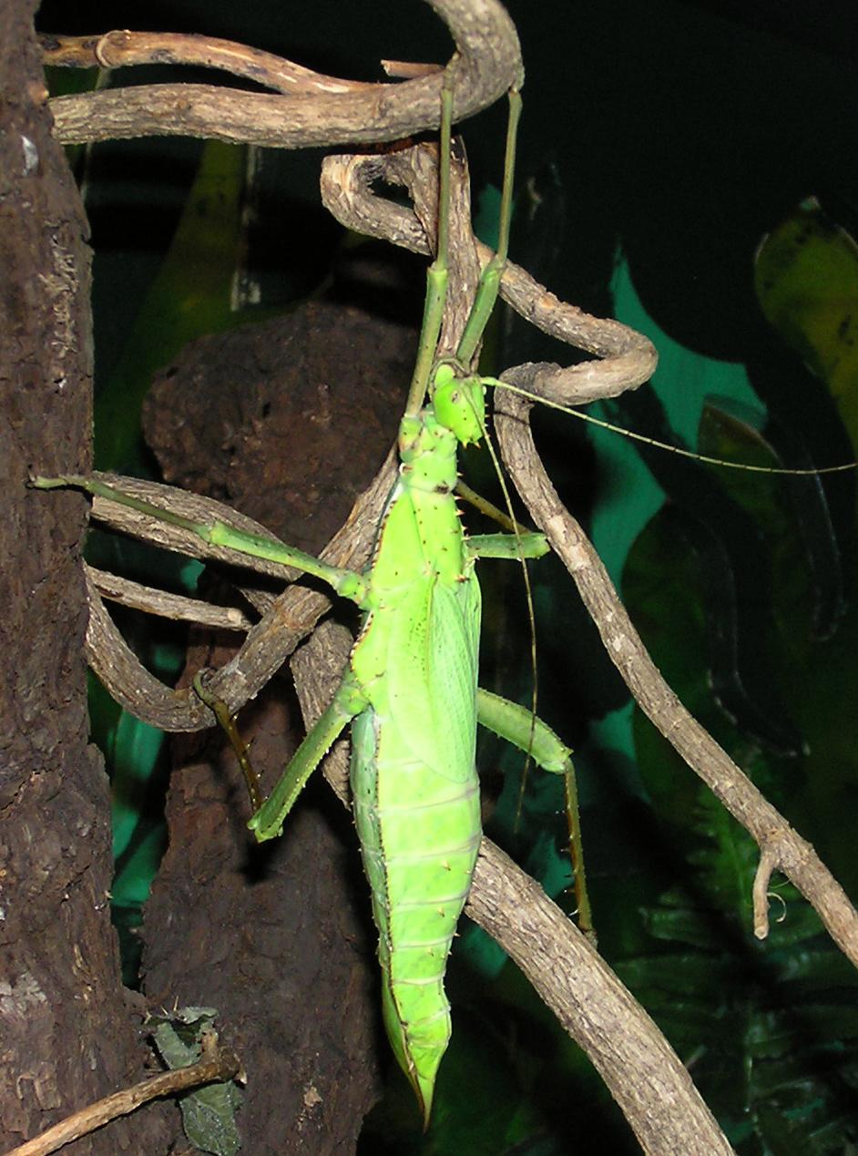 Female Heteropteryx dilatata