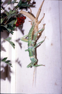 Moulting phasmid
