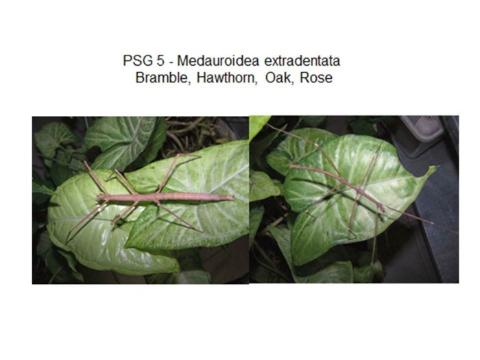 PSG 5 Medauroidea extradentata adult female and male