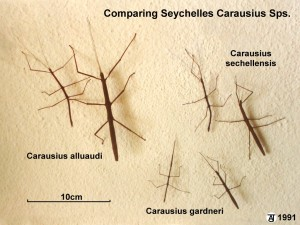 PSG 16 147 Seychelles Carausius Comparison Copyright © Tony James