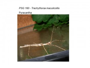PSG 160 Trachythorax maculicollis adult female