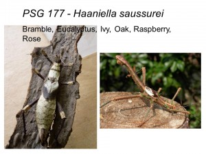 PSG 177 Haaniella saussurei adult female and male