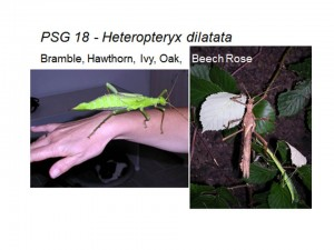 PSG 18 Heteropteryx dilatata female and male adults