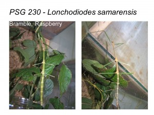 PSG 230 Lonchodiodes samarensis adult male and female