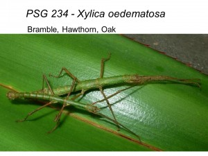PSG 234 Xylica oedematosa adult pair