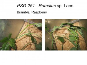 PSG 251 Ramulus sp. Laos adults female and male