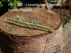 PSG 252 Lopaphus sp. Thailand adult female