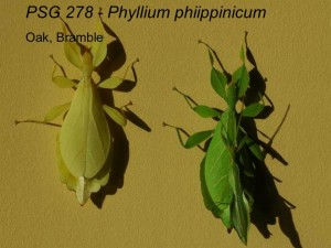 PSG 278 Phyllium (Phyllium) philippinicum adult pair mating and yellow colour form