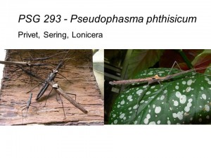 PSG 293 Pseudophasma phthisicum adult females and nymphs