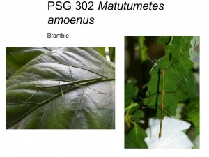 PSG 302 Matutumetes amoenus adult male and female
