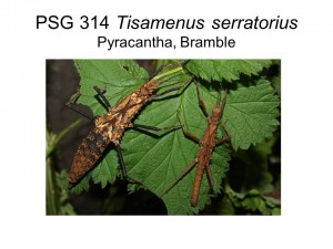 PSG 314 Tisamenus serratorius adult pair