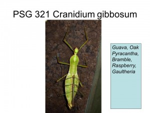 PSG 321 Cranidium gibbosum adult pair