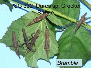 PSG 332 Dares sp Crocker Range on bramble