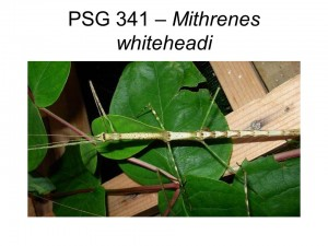 PSG 341 Mithrenes whiteheadi adult female