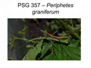 PSG 357 Periphetes graniferum mating pair