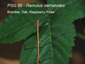 PSG 55 Ramulus nematodes on bramble