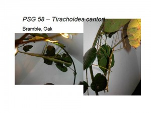 PSG 58 Tirachoidea cantori adult female and male