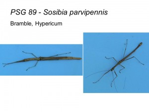 PSG 89 Sosibia parvipennis adult pair