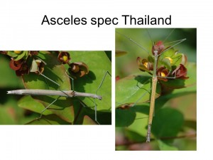 Asceles sp. Thailand
