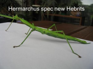 Hermarchus sp. new Hebrits