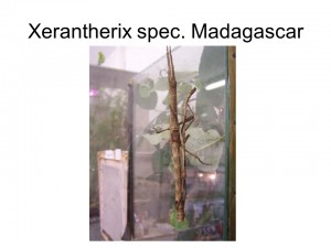 Xerantherix sp. Madagascar