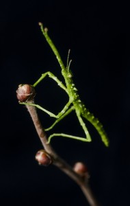 Unknown phasmid on a twig