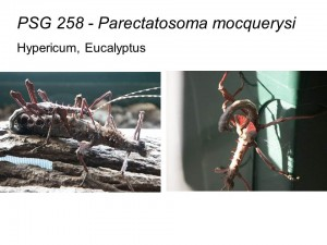 PSG 258 Parectatosoma mocquerysi mating pair and defensive display